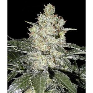Seedsman Original Skunk #1 female Seeds