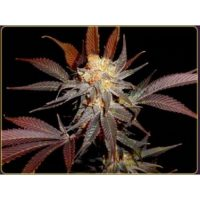 Soma Seeds Lavender female Seeds
