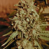 Advanced Seeds Somango Widow female seeds