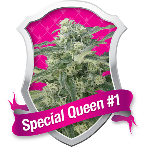 Royal Queen Seeds Special Queen #1 female Seeds