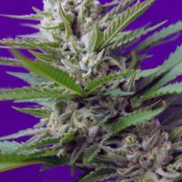 Sweet Seeds Speed Devil #2 Auto female Seeds