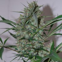 blackskull SPEED HAZE FEMALE