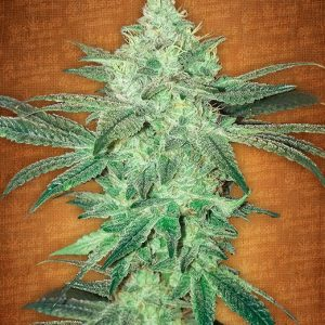 Fast Buds Stardawg female seeds