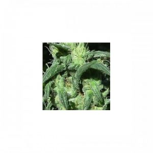 Nirvana Seeds Sterling Haze female Seeds