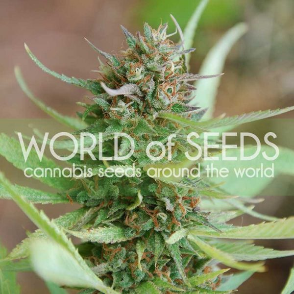 World of Seeds Strawberry Blue female Seeds