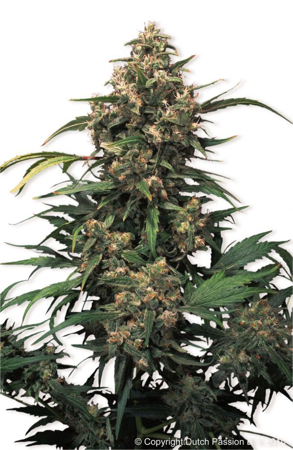 Dutch Passion Strawberry Cough female Seeds