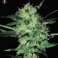 Greenhouse Seed Co. Super Critical female Seeds