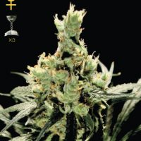 Greenhouse Seed Co. Super Lemon Haze female Seeds