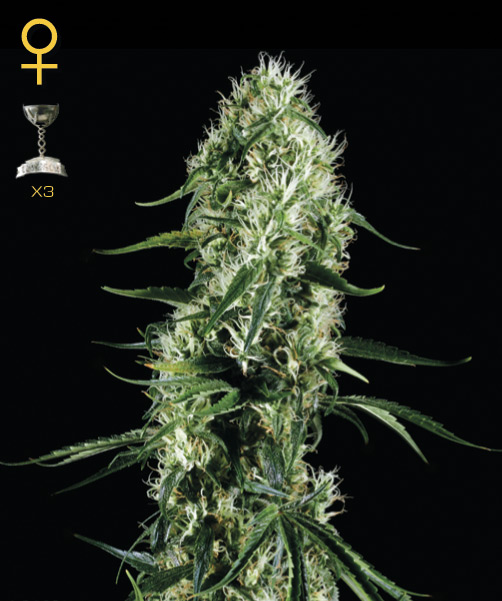 Greenhouse Seed Co. Super Silver Haze female Seeds