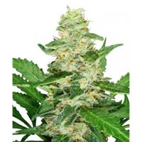 Strain Hunters Skunk AUTO female Seeds