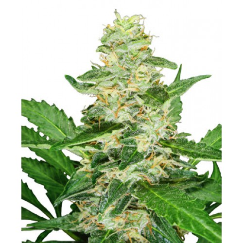 Sensi Seeds Super Skunk AUTO female Seeds