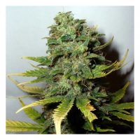 Nirvana Seeds Super Skunk female Seeds