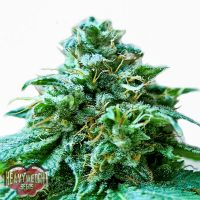 Heavyweight Seeds Superb OG female Seeds