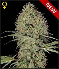 Greenhouse Seed Co. Super Bud AUTO female Seeds