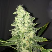 Nirvana Seeds Supreme CBD Kush female Seeds