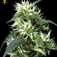 Greenhouse Seed Co. Sweet Mango AUTO female Seeds