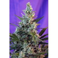 Sweet Seeds Sweet Skunk Auto female Seeds