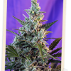 Sweet Seeds Sweet Nurse Auto CBD female seeds