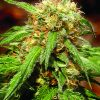 Sweet Seeds Sweet Special FAST Version female Seeds