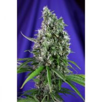 Sweet Seeds Sweet Trainwreck Auto female Seeds