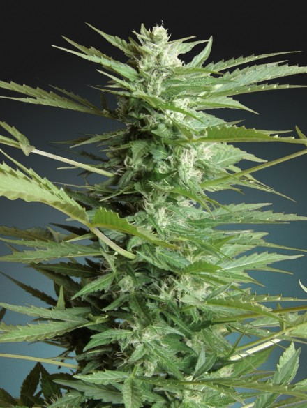 Advanced Seeds Auto Sweet Dwarf female seeds