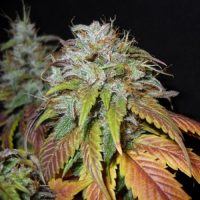 Nirvana Seeds Swiss Cheese female Seeds