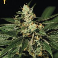 Greenhouse Seed Co. Trainwreck female Seeds