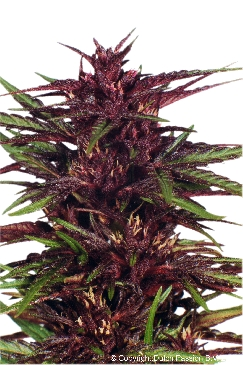 Dutch Passion Twilight female Seeds