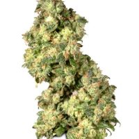 Dutch Passion Ultra Skunk female Seeds