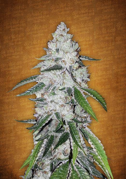Fast Buds West Coast O.G. female seeds
