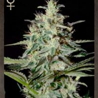 Strain Hunters White Lemon female Seeds