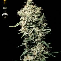 Greenhouse Seed Co. White Rhino female Seeds