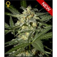 Greenhouse Seed Co. White Widow AUTO female Seeds