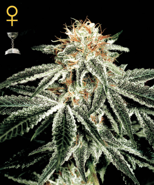 Flying Dutchmen White Widow female Seeds