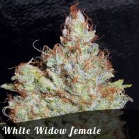 Bulk Seeds White Widow female seeds