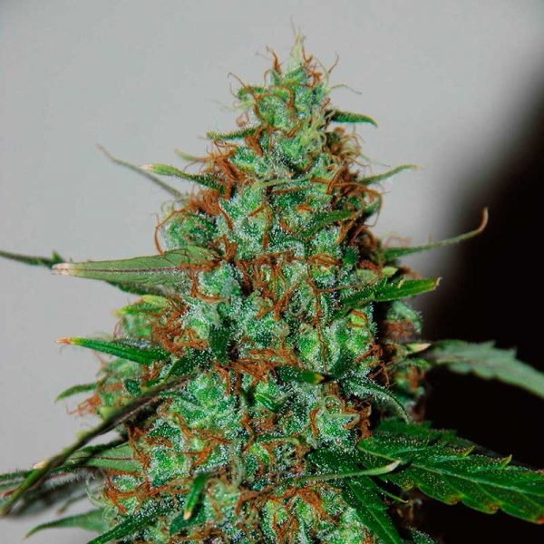 World of Seeds Wild Thailand Ryder Autoflowering female Seeds