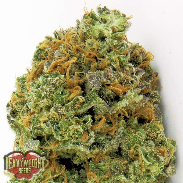Heavyweight Seeds Auto Wipeout Express female Seeds