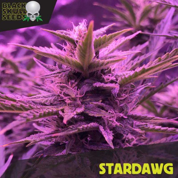 Blackskull Star Dog feminized seeds