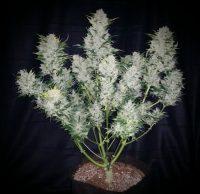 Auto Flowering seeds