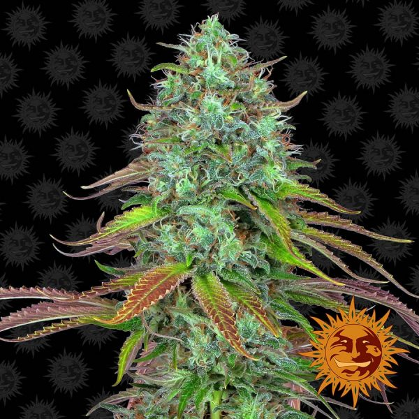 Barneys Farm LSD Auto feminised seeds