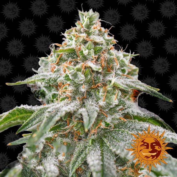 Barneys Farm Pink Kush feminised seeds