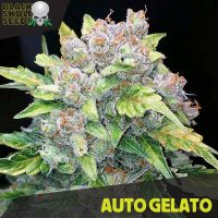 Blackskull Auto Gelato feminized seeds