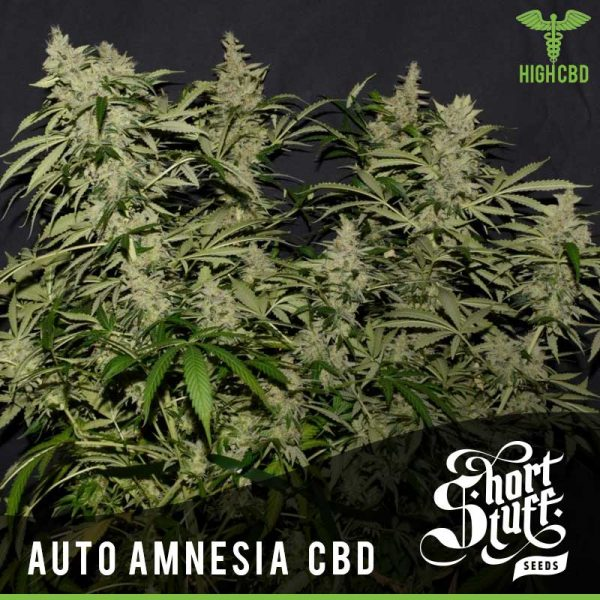 Shortstuff seeds Auto Amnesia CBD feminised