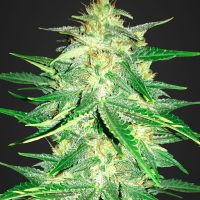 Fast Buds Lemon AK Auto feminised seeds
