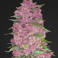 Fast Buds Purple Lemonade Auto feminised seeds