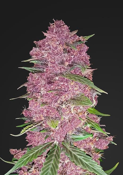 Fast Buds Purple Lemonade Auto feminised seeds