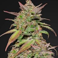 Fast Buds Smoothie Auto feminised seeds